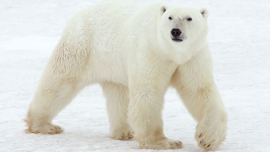Polar Bears Appear Where They Never Were Before