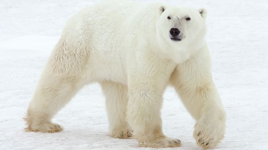 Polar bears are normally seen along the Arctic coasts or on ocean ice, like here along ...