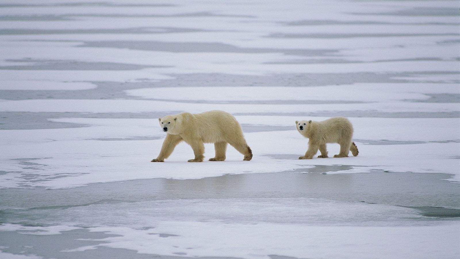 A mother polar bear and her cub traverse the sea ice in Nunavut, Canada.