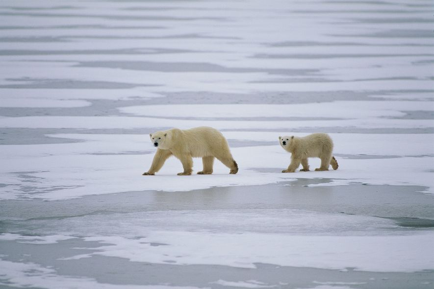 The surprising reason polar bears need sea ice to survive