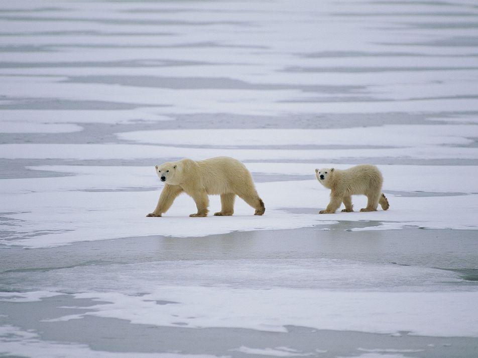 The surprising reason polar bears need sea ice to survive