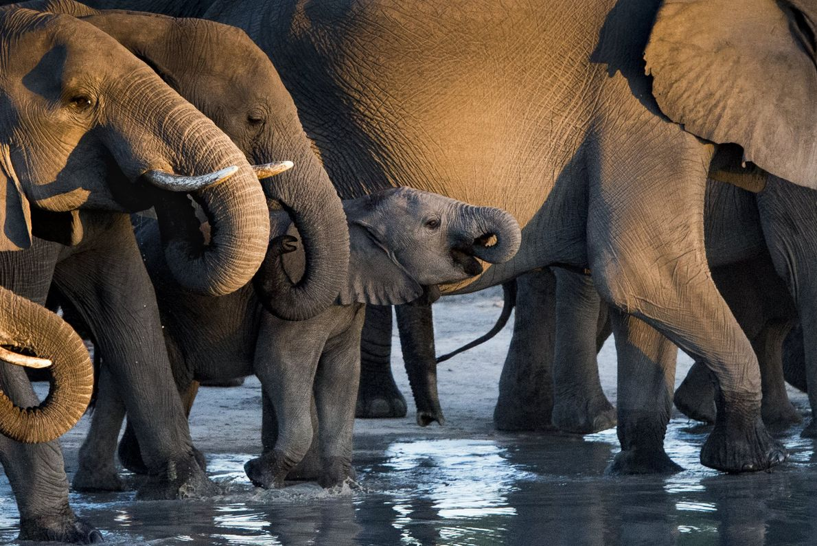 """""""A baby elephant is dwarfed by his family at a waterhole in Savute Botswana,"""" writes Your ..."""