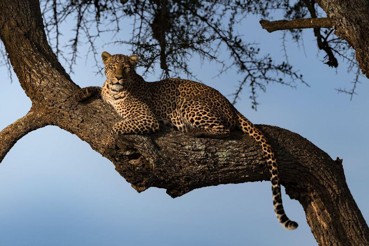 Your Shot photographer Vinaya Mohan photographed this leopard during sunrise in Maasai Mara, Kenya.