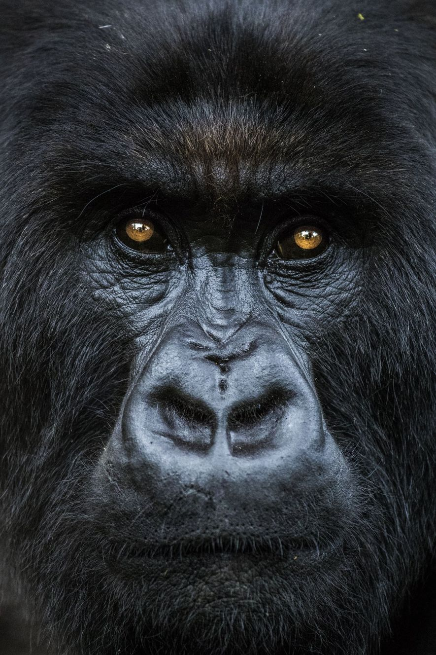 """""""This Silverback easily identifiable, not just by the patch of silver hair running down the length ..."""