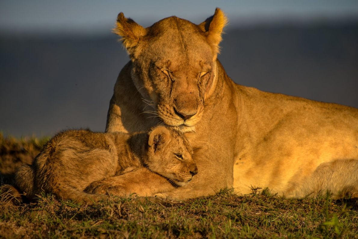 Your Shot photographer Tauhid Rashid documented this tender moment between mother lion and cub in Masai ...