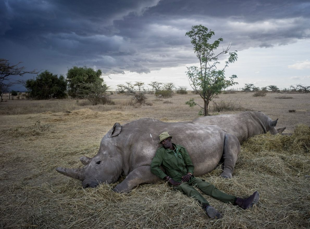 """Peter Esegon, 47, one of the primary rhino caretakers relaxes with Najin and Fatu as the ..."