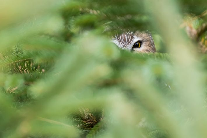 """When walking along the trail in a park in Toronto, noticed a northern saw-whet owl peeking ..."