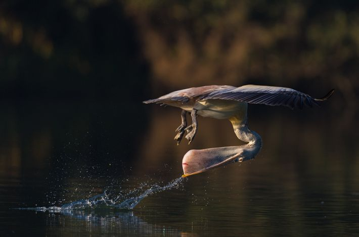"""This spot-billed pelican that lives along the the Kaveri river, at the Ranganathittu Bird Sanctuary demonstrates ..."
