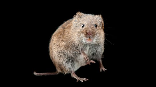 Prairie voles have very human qualities—they form lifelong relationships and love alcohol.