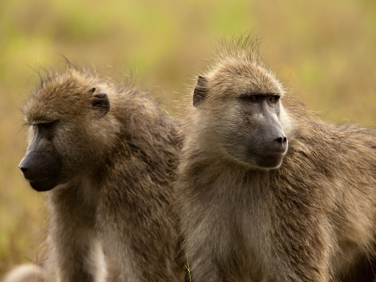 Chacma baboons are the most popular of all the African trophy primates.