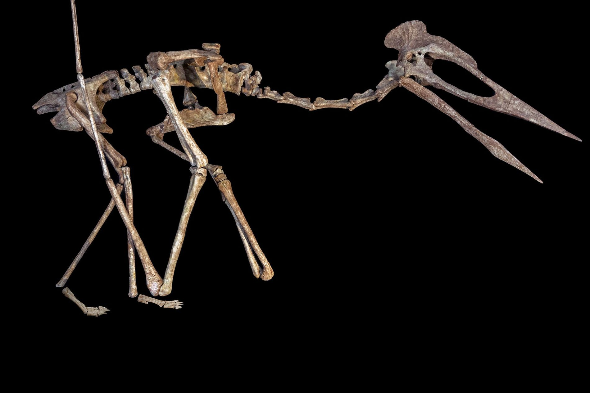A skeletal reconstruction of the flying reptile known as Dracula, a giant azhdarchoid pterosaur found in ...