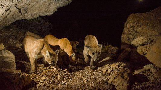 Once Thought Loners, Cougars Revealed to Have Rich Society