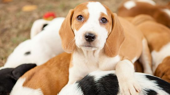 Adoptable hound puppies play in the backyard of their foster family in Washington, D.C.