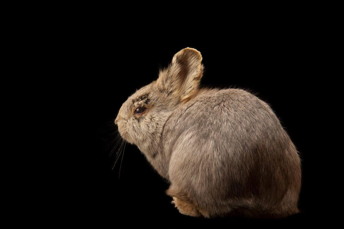 The rare female Columbia Basin pygmy rabbit—which used to be found in Washington, Oregon, Idaho, Montana, ...