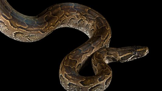 Why an 8-Foot Pet Python May Have Killed Its Owner