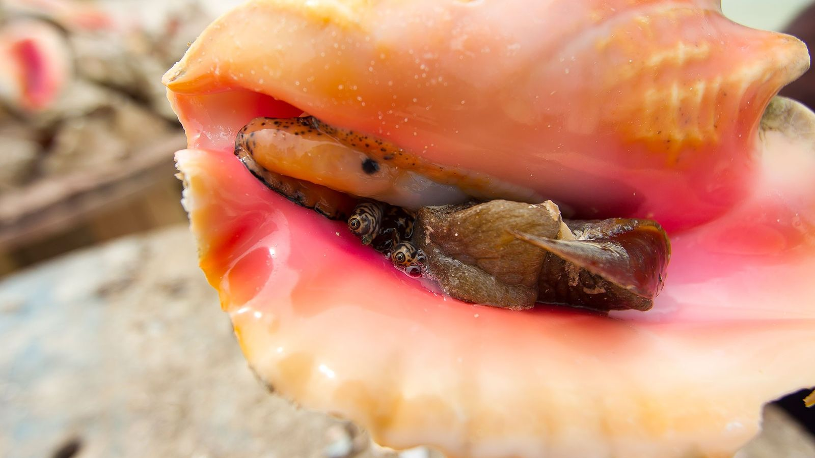 A queen conch peers out from its shell. An icon of the Bahamas, conchs numbers are ...