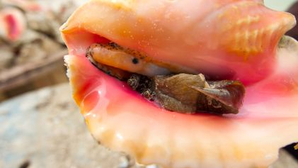 The surprising truth about the Bahamian conch - and why it's in deep trouble