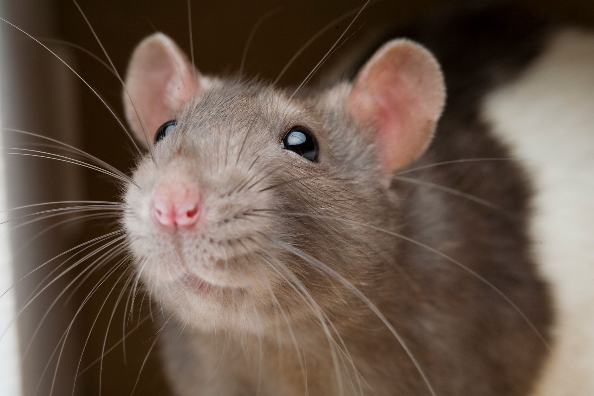 Rats and humans share the same part of the brain that regulates harm aversion, the anterior ...