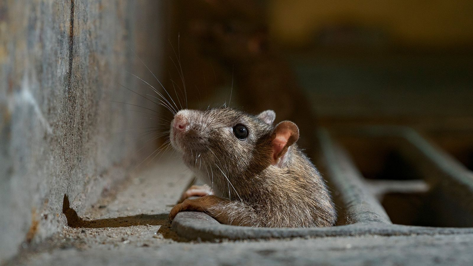 A rat peeks out from a stormwater catch basin in New York City. As self-isolation becomes ...