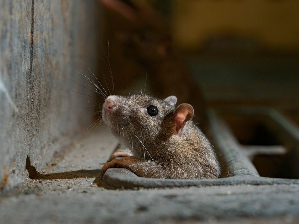 Rats emerge from hiding as lockdowns eliminate urban rubbish