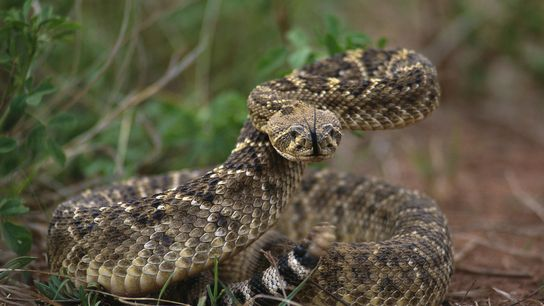 Western diamondback rattlesnakes have more to fear from people than we do from them, but they ...