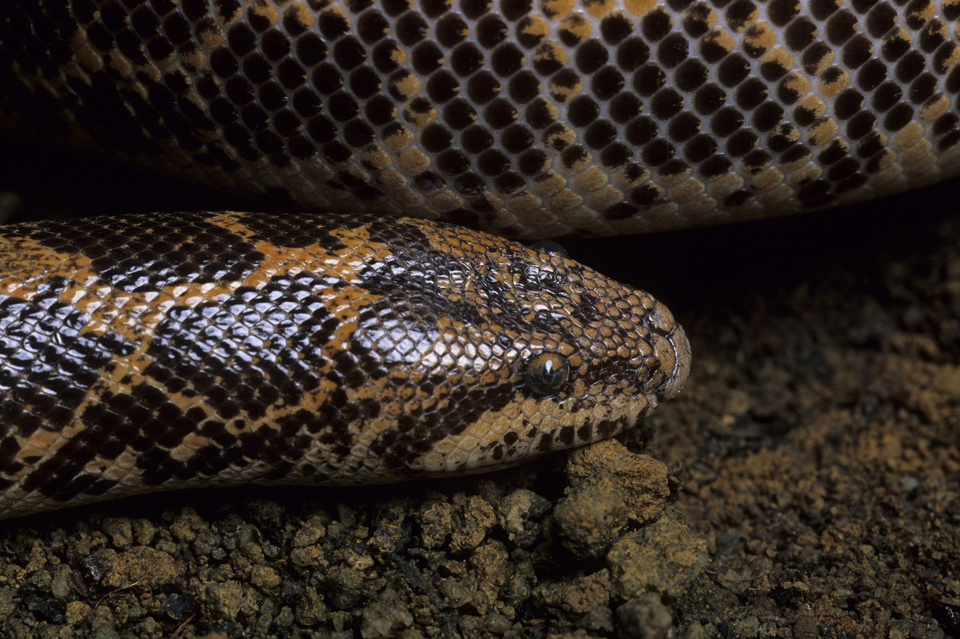 More than 4,000 live reptiles, including six Kenyan sand boa snakes found in air cargo in ...