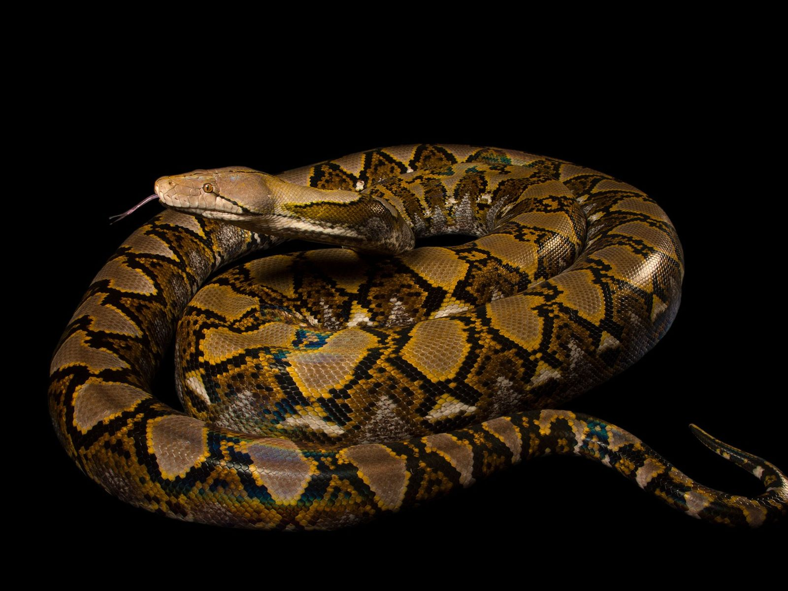A reticulated python, Broghammerus reticulatus, at the Naples Zoo.