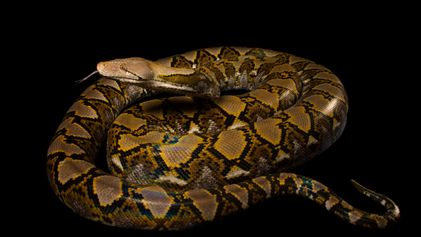 Python Swallows Woman Whole—What Experts Say About the Rare Attack