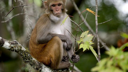 Wildlife managers in Florida say they want to remove roaming monkeys, like this one on the ...