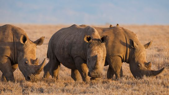 Using rhino horn and tiger bone for traditional Chinese medicine imperils these endangered creatures, experts say.