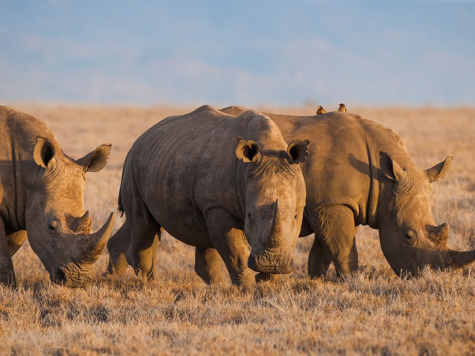 China Legalises Rhino Horn and Tiger Bone for Medical Purposes