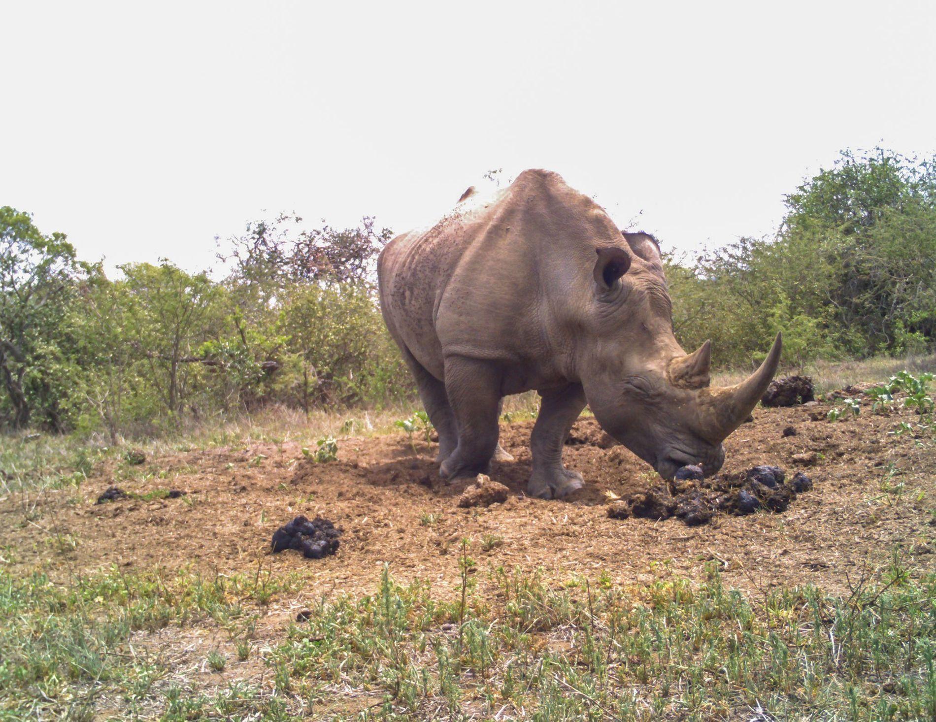 01-rhino-poop-gossip