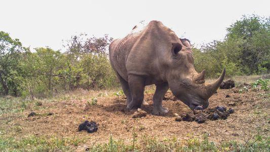 Rhinos Use Poop Piles Like a Social Network