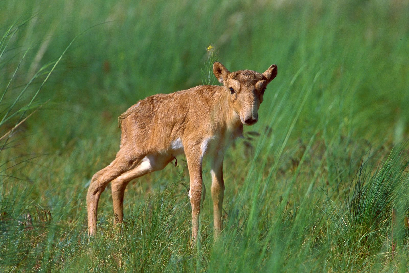Floppy-nosed antelope has baby boom, raising hope for critically endangered species