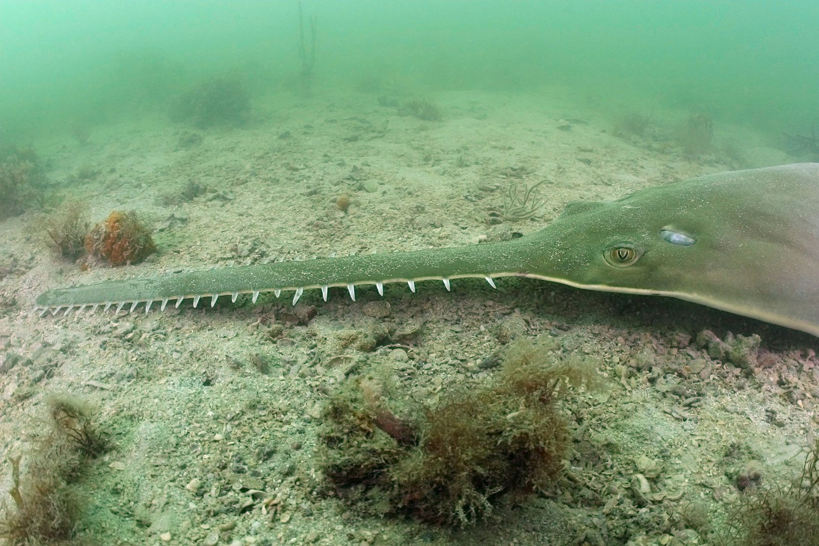 Searching for the world's last remaining sawfish
