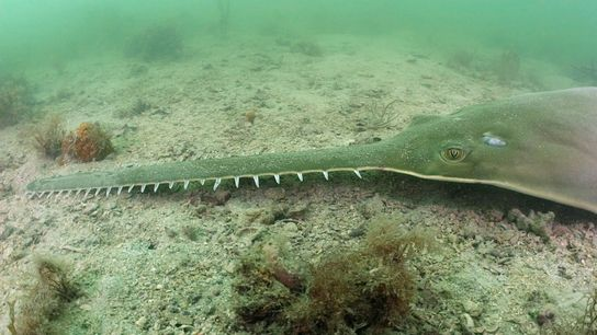 Florida is one of a few remaining strongholds for the smalltooth sawfish in the world, pictured ...