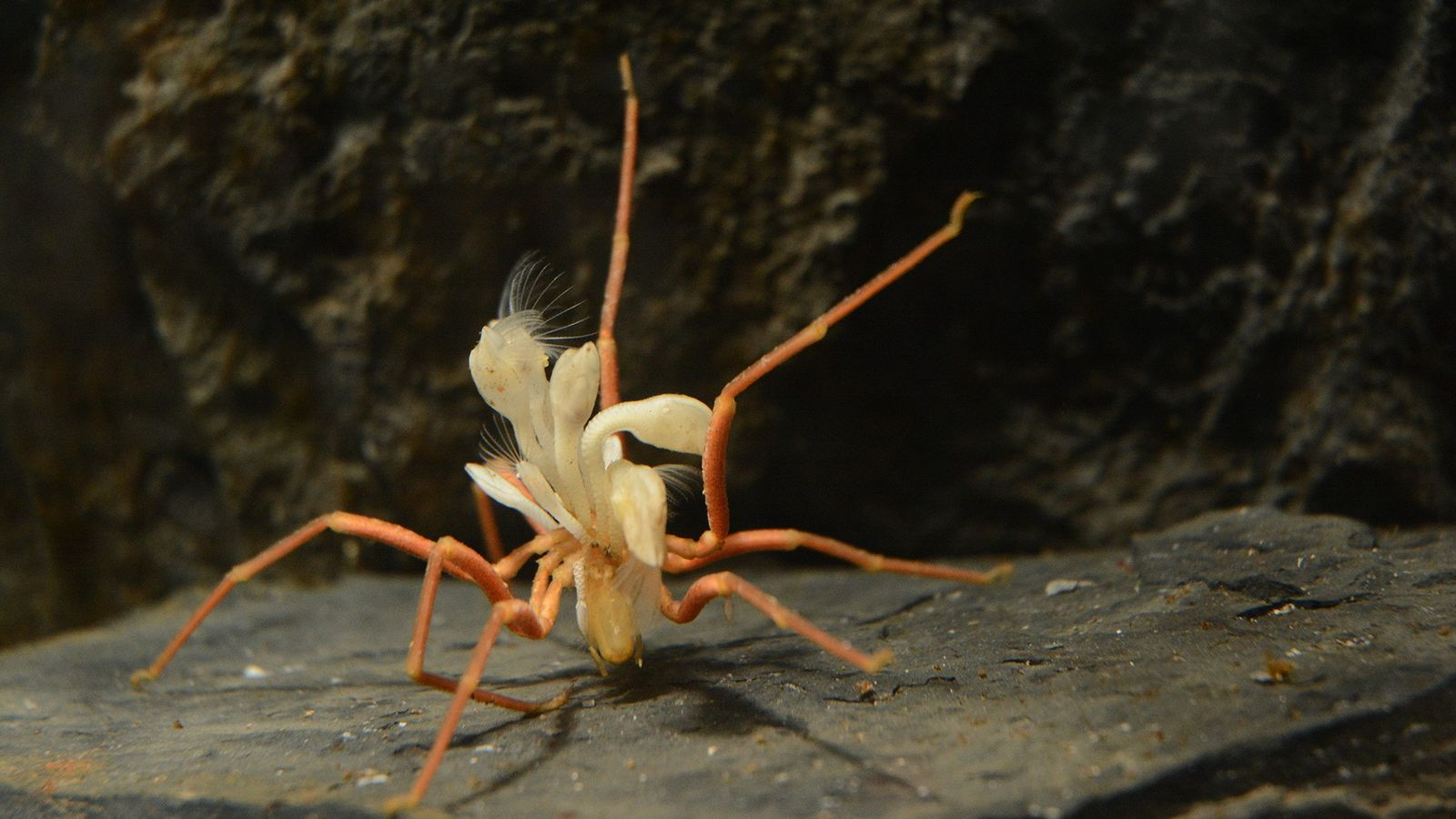 An Antarctic sea spider ('Ammothea glacialis') about 15 centimetres (6 inches) long struggles under the weight ...