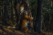 This rare photograph of a Siberian tiger embracing a tree in Russia's Far East won Russian ...