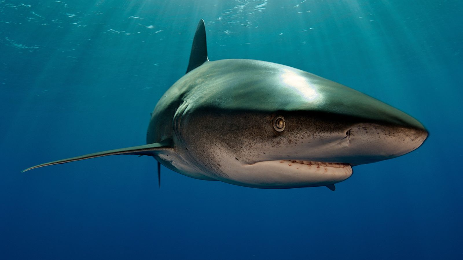 An oceanic whitetip shark (not the animal involved in the encounter) swims off the Bahamas. Whitetips ...