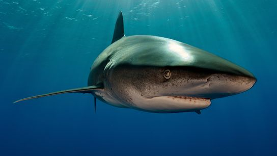 An oceanic whitetip shark (not the animal involved in the encounter) swims off the Bahamas. Whitetips ...
