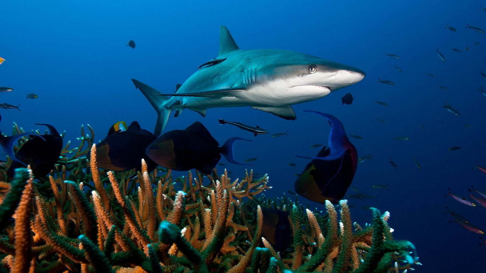 A grey reef shark, seen here in Kimbe Bay, Papua New Guinea, is one of the ...