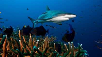 Reef sharks are in major decline worldwide