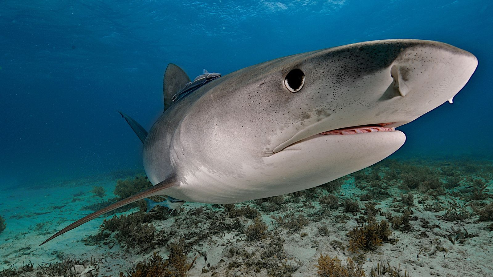 A tiger shark swims off the Bahamas. The predators are consummate scavengers, with excellent senses of ...