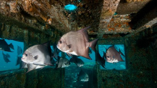 A shipwreck off North Carolina is draped with schools of small baitfish and spadefish, and is ...