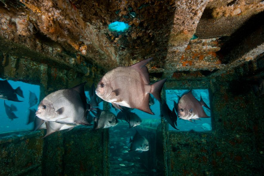 Shipwrecks may help tropical fish adapt to climate change