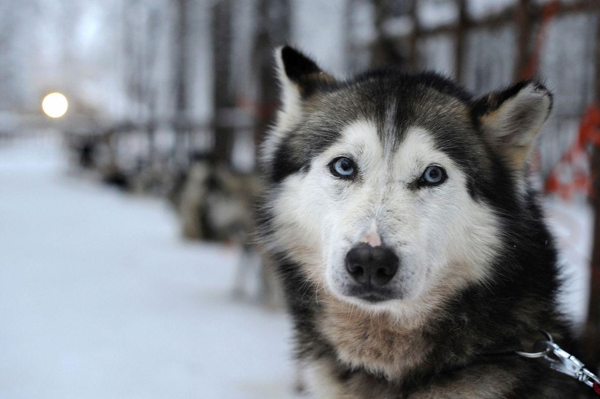 Why Huskies Have Brilliant Blue Eyes
