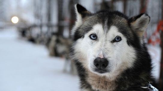 Scientists have found a genetic mutation thought to cause blue eyes in Siberian huskies.