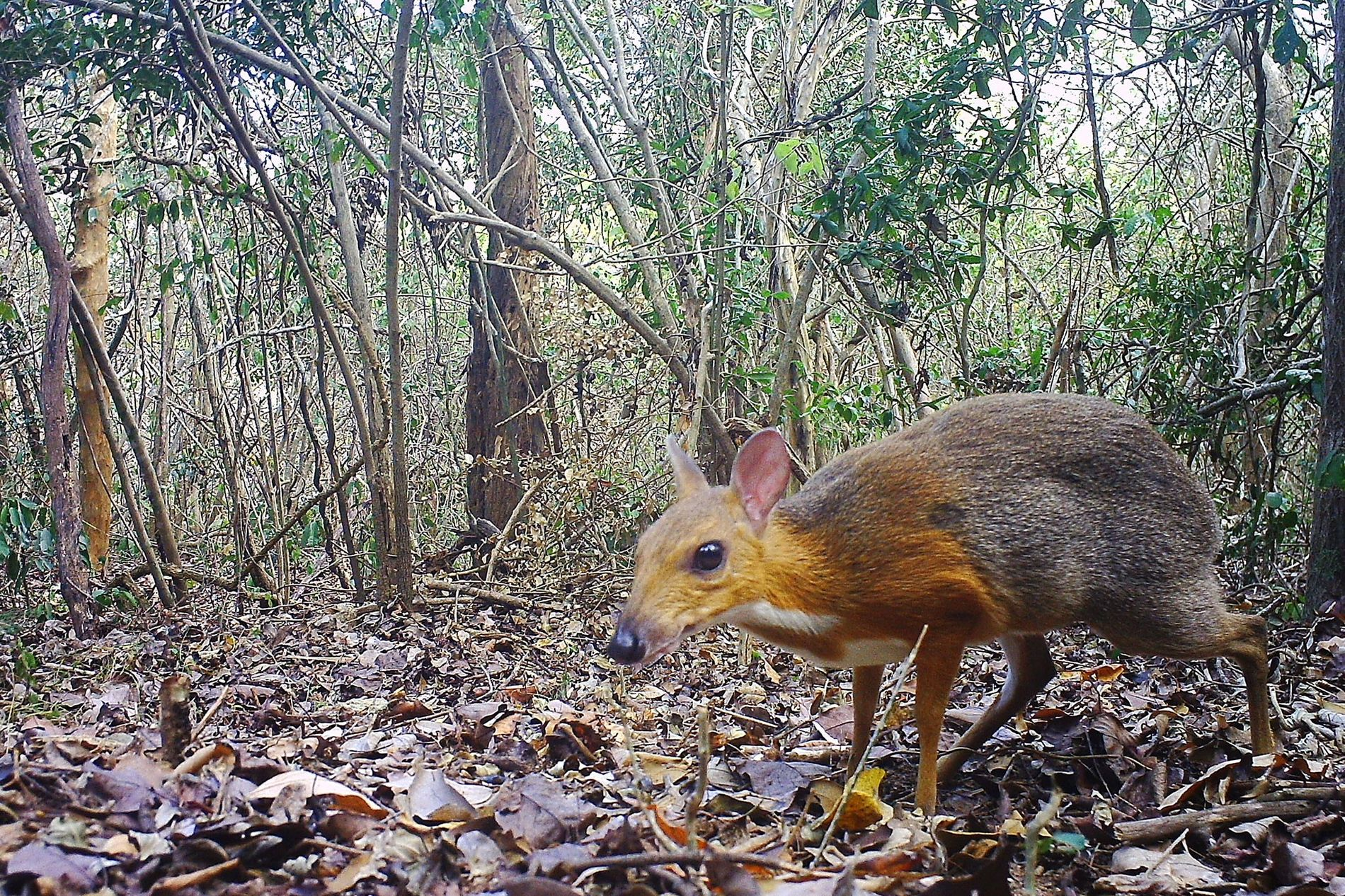 A camera trap captured a photo of silver-backed chevrotain (Tragulus versicolor), which had been lost to ...