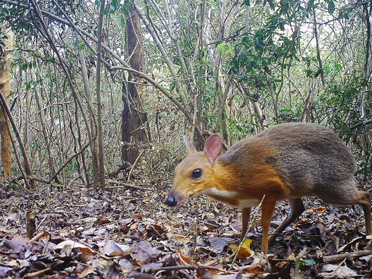 Fanged mouse-deer identified after vanishing for a generation