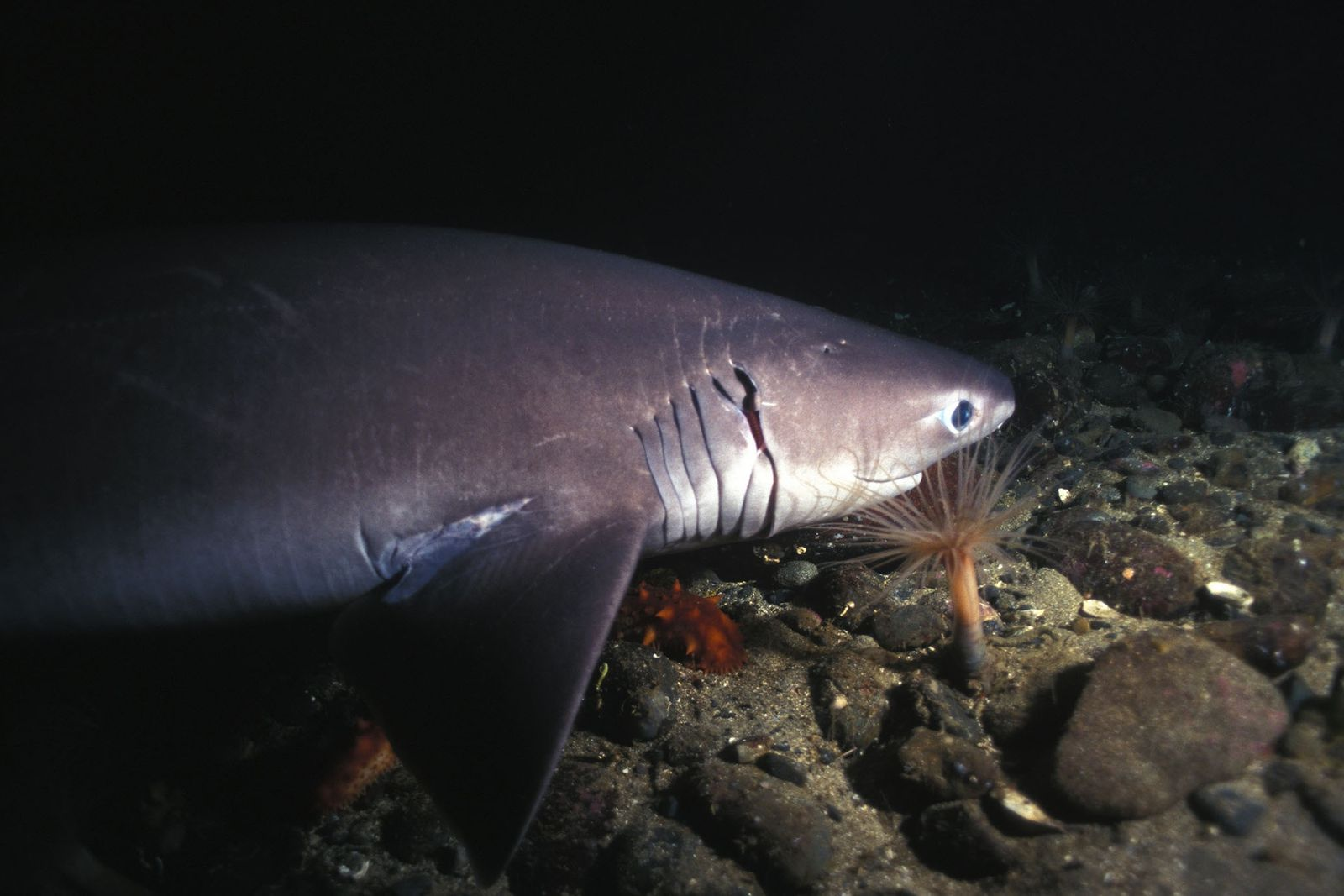 Scientists have split a previously identified species of sixgill shark into two different species.